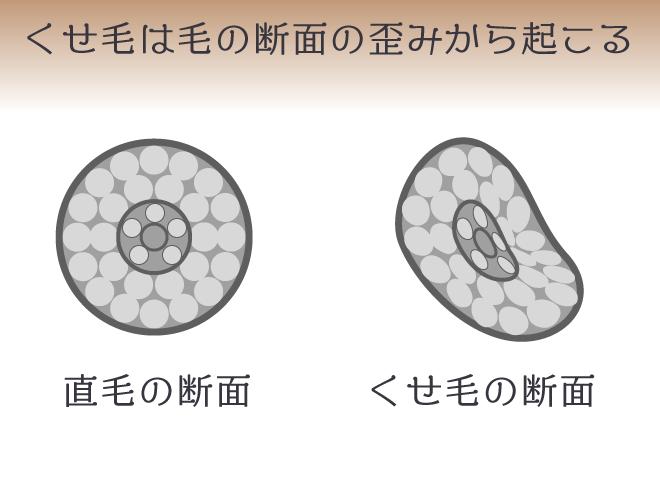 直毛の毛の断面は真円、くせ毛の毛の断面は歪みが生じ楕円状