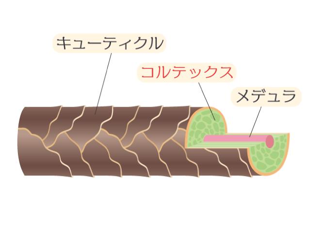 髪の毛は3層構造。太さを決めるのは2層目のコルテックス。